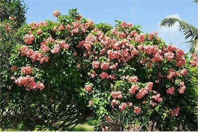 Musanda Plants
