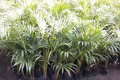 Arica Palm