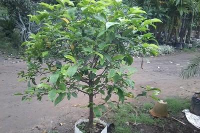 Bacul bonsai