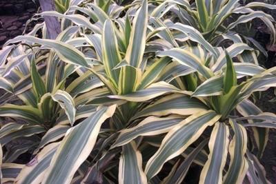 Victoria dracena Plants
