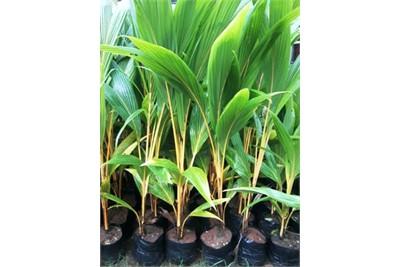 Coconut saloon plants