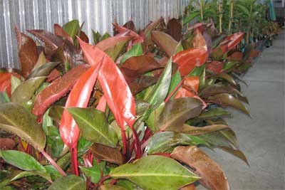 Philodendron autumn