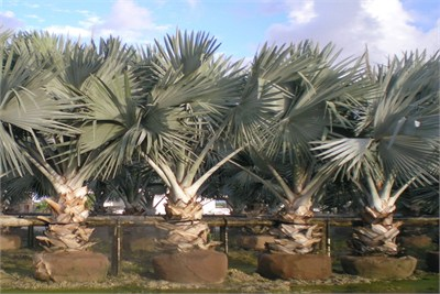 bismarckia-nobilis-silver-silver-bismarck-palm