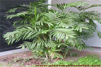 chamaedorea palm