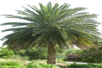 canary-island-date-palm