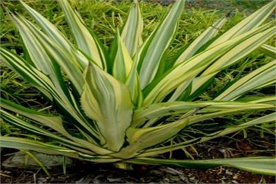 furcaria plant