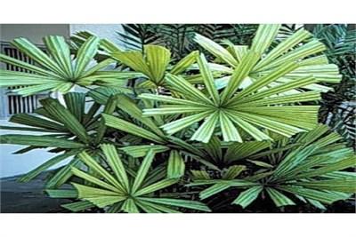 licuala-spinosa-seeds