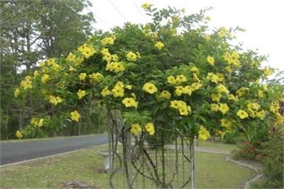 allamanda-cathartica_yellow-trumpet-vine