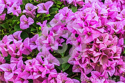pink-bougainvillea-closeup-garden