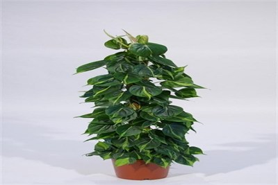 PHILODENDRON SCANDENS BRASIL MOSSPOOL