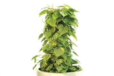 Philodendron_scandens_Moss_Pole