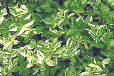 tradescantia-fluminensis-variegata