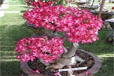 Adenium cultivation
