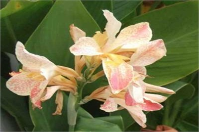 canna-whit-pink