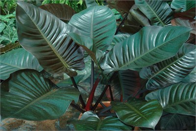 Philodendron_Imperial_Red
