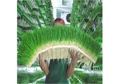 Green Super Food