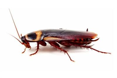 Cockroach Management Control